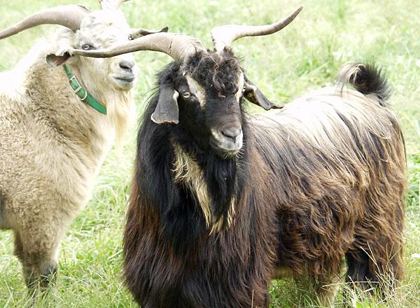 Chasmere goat